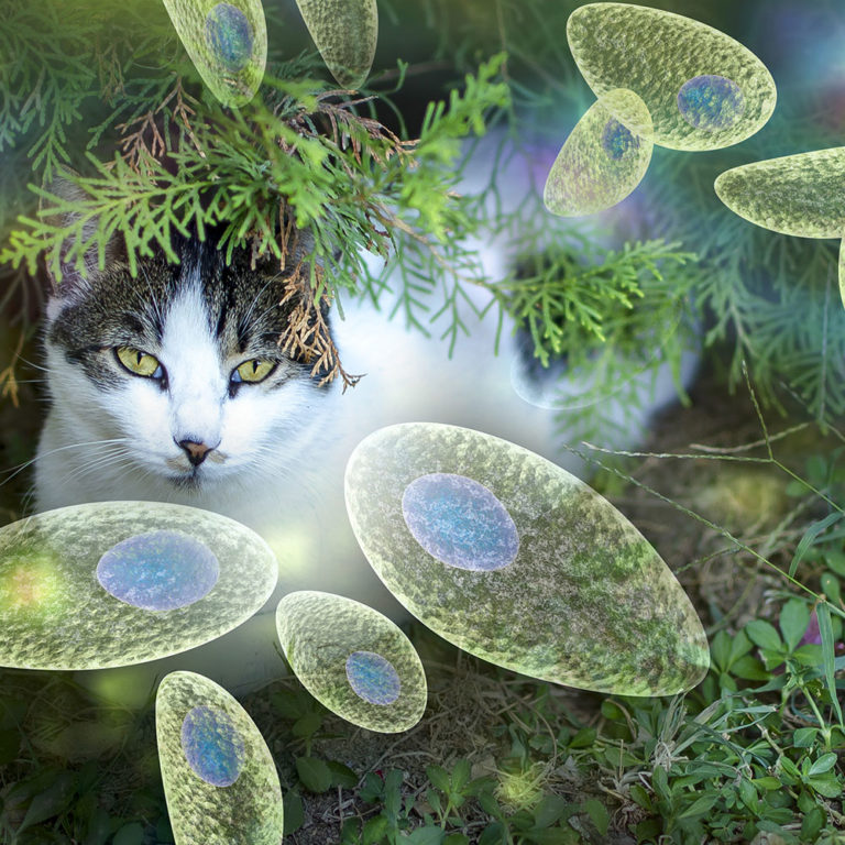 TOKSOPLASMOOS – kuidas kaitsta end kassidelt saadava parasiidi Toxoplasma gondii eest?