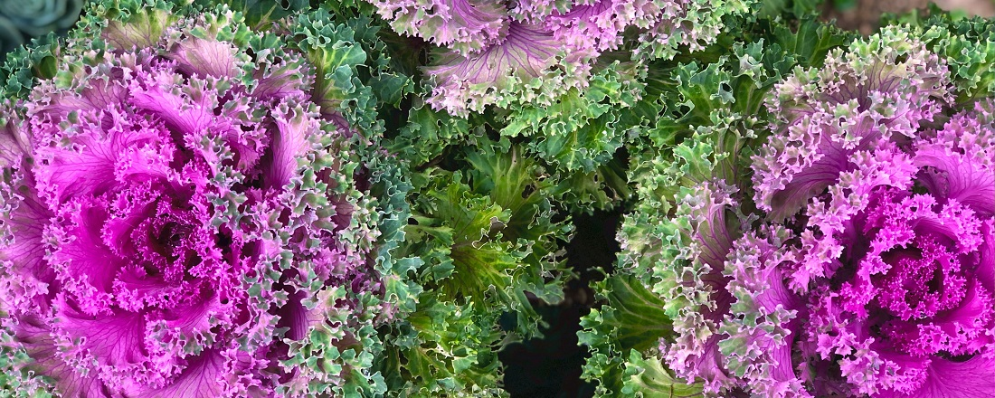 Kale_taimetoitlus